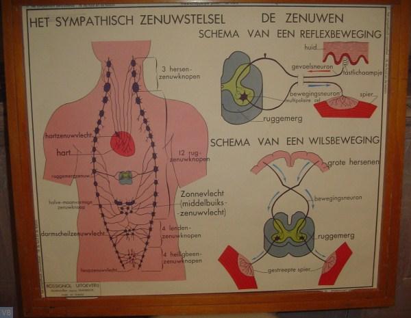 17 - het sympatisch zenuwstelsel
